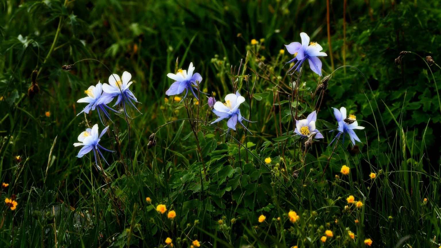 colorado columbine flowers outside