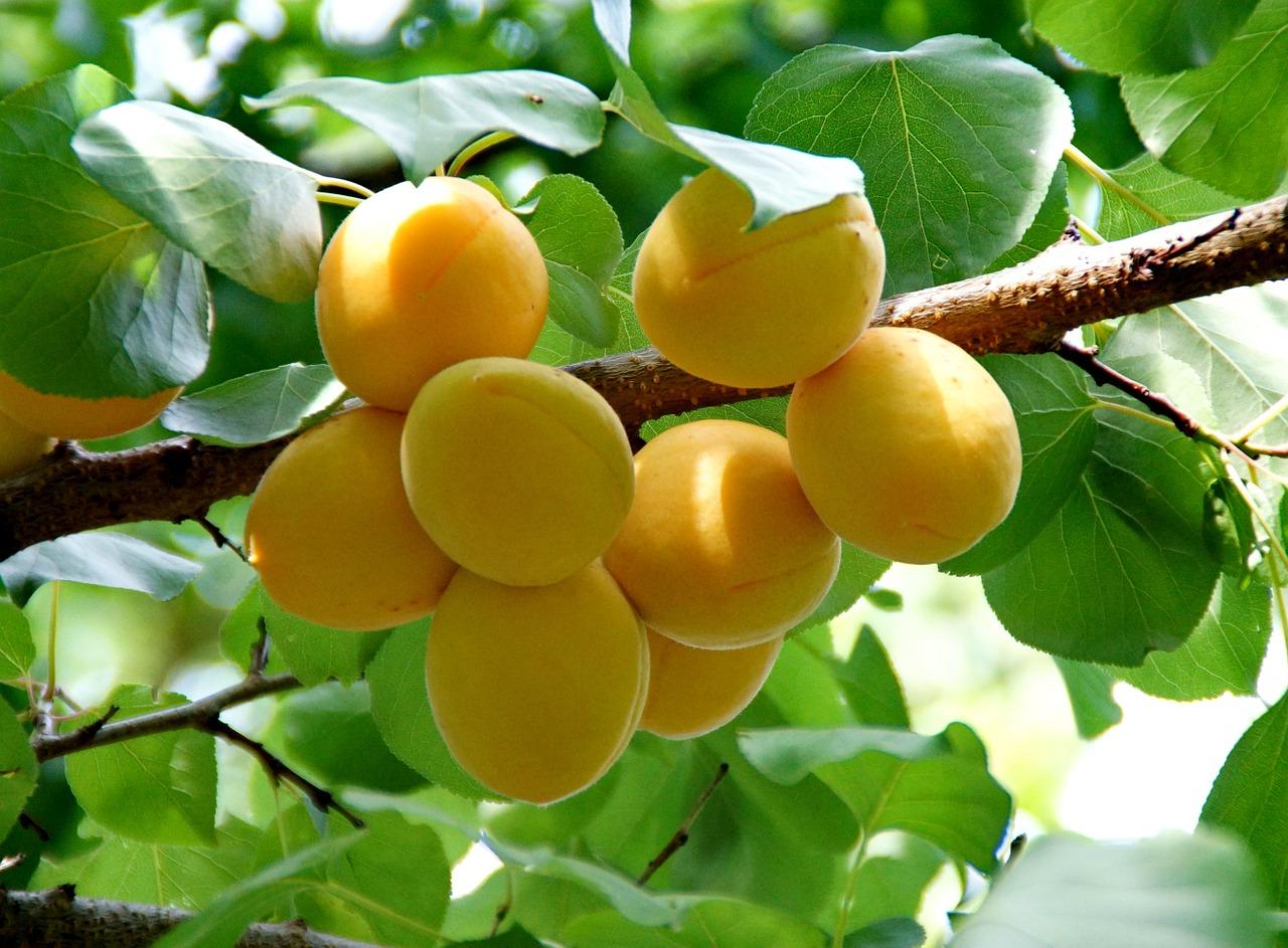 Nádherně obalená větev meruňkami