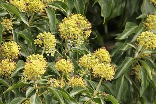 Kvetoucí břečťany jsou vítanou pozdní pastvou pro včely a vosy