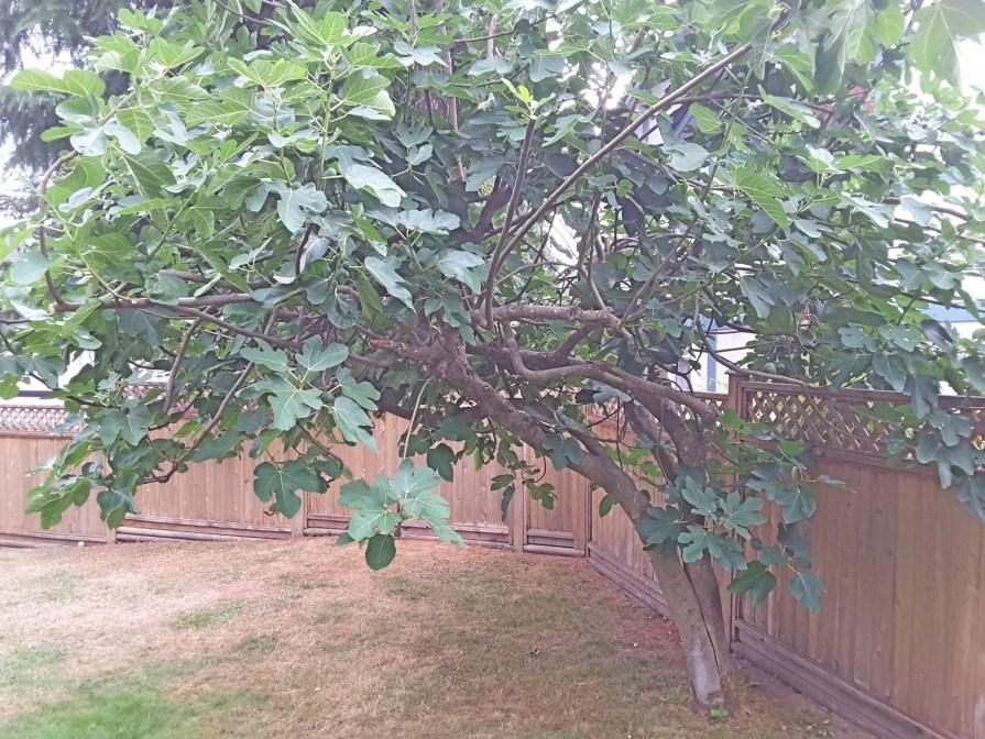 Fíkovník smokvoň lze pěstovat i u nás