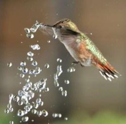 colibri-boit