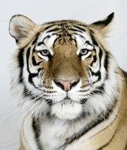 Bengal-tigers-Kanja-a-6-y-003