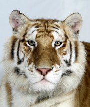 Bengal-tigers-Karupa-one--006