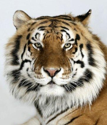 Bengal-tigers-Manu-a-8-ye-004