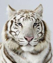 Bengal-tigers-Narayana-a--015