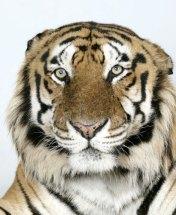 Bengal-tigers-Raja-a-16-y-001