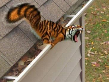 ecureuil tigre