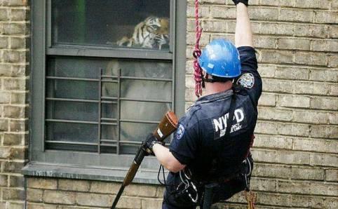 alarme tigre