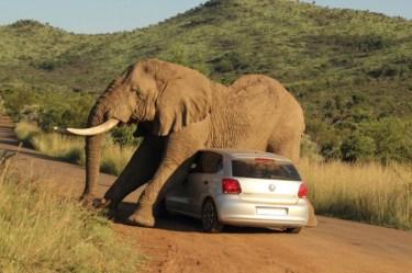 elephant sur voiture