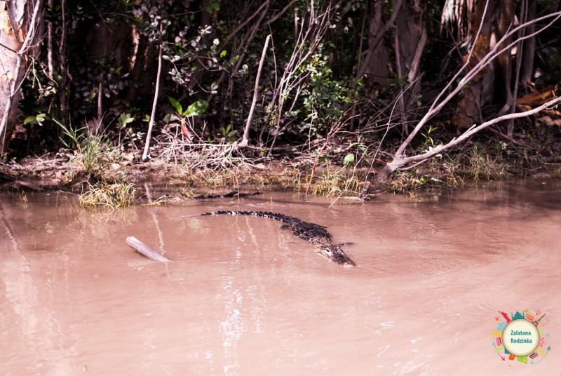 aligator na wolności