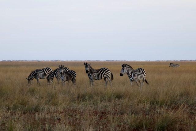 12-Day Pizi Safari - Burchell's Zebra in Liuwa Plain NP