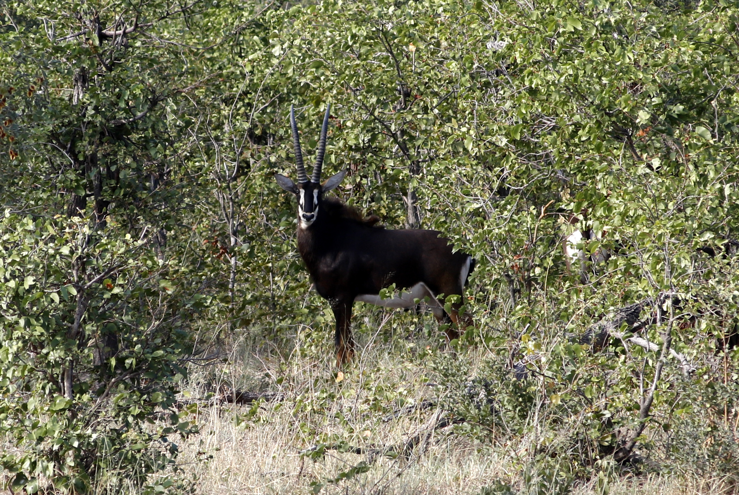 Sable Antelope - the icon of Kafue NP