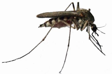 Due casi di febbre del Nilo a Lodi per la zanzara notturna padana
