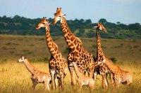 Selous Game Rserve Ruaha Mikumi Parks Safari Tanzania Zara Tours 1