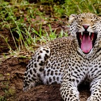 Leopards of Serengeti