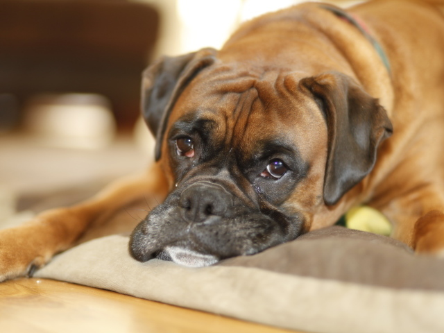 Girls Wallpaper Border Sad Boxer Lying In Its Place Wallpapers And Images