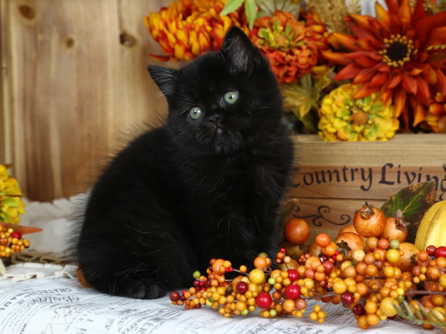 Free Fall Pumpkin Wallpaper Little Fluffy Black Kitten With Autumn Berries Wallpapers