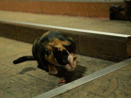 ペットフードを 食べる ネコ