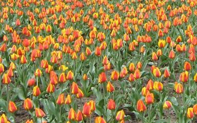 Tulpen Tulipa Geschichtliches Tulpenwahn Rembrandt