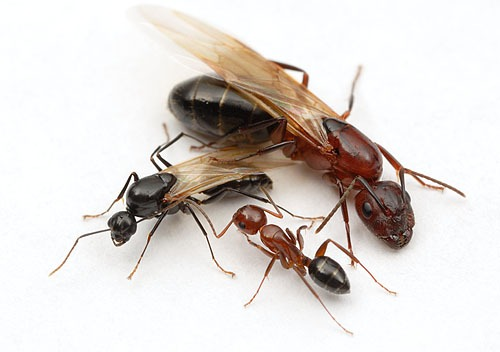 Ants have castes (show here are a male, queen and worker). Human beings should not have castes!