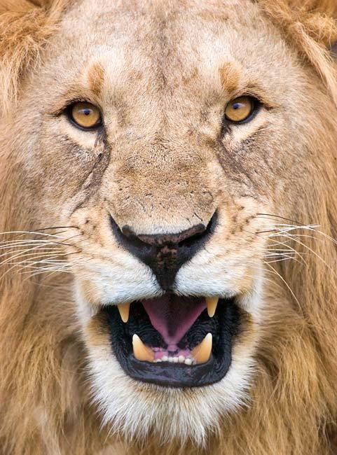 Lions teeth