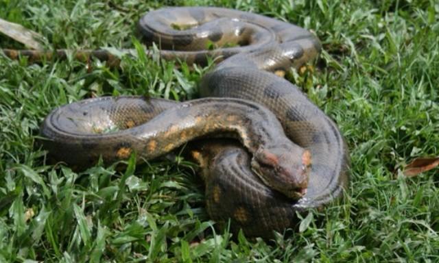 #ZayActu : Un anaconda découvert dans la rivière Lézarde au Lamentin en Martinique | ZayRadio.org