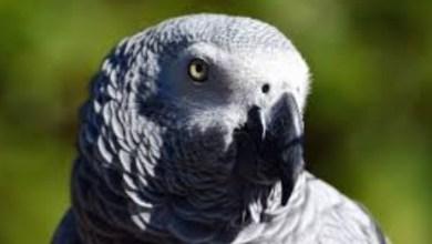 Photo of Perroquet : vous possédez un Gris du Gabon ? La déclaration est obligatoire
