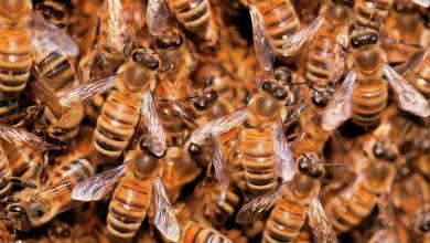 Photo of Un homme décède après avoir été attaqué par un essaim d'abeilles