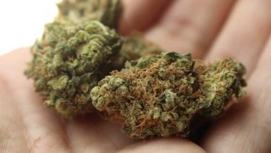 Photo of Des souris mangeuses de cannabis ? C'est pourtant ce que prétendent des policiers