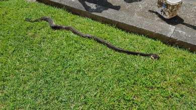 Photo of Un serpent (Trigonocéphale) tué à Bezaudin à Sainte-Marie