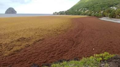 Photo of La plage de l'Anse Cafard au Diamant envahie par les algues sargasses (Vidéo)