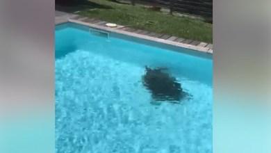 Photo of Une tortue s'égare et termine dans une piscine au Diamant (Vidéo)