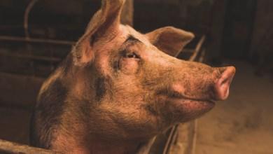 Photo of Guyane : un éleveur d'une soixantaine d'années blessé par son cochon aux parties génitales