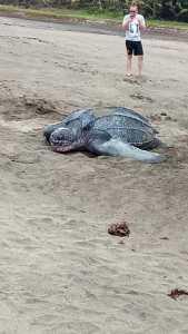 Martinique : Une tortue luth ponds ses œufs sur la plage du Tombolo - Vidéo 2