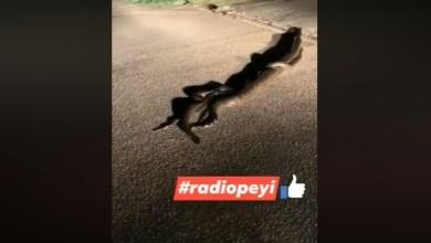 Photo of Guyane : trois anacondas aperçus dans un quartier résidentiel à Rémire-Monjoly