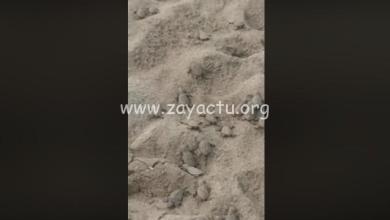 Photo of Éclosion d'œufs de tortues luth sur une plage à Sainte-Luce (VIDÉO)