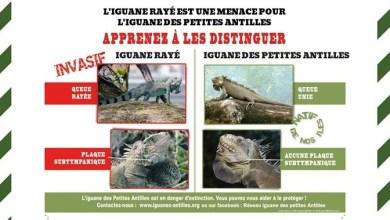 Photo of Un iguane rayé envahissant signalé sur l'îlet Chancel au Robert