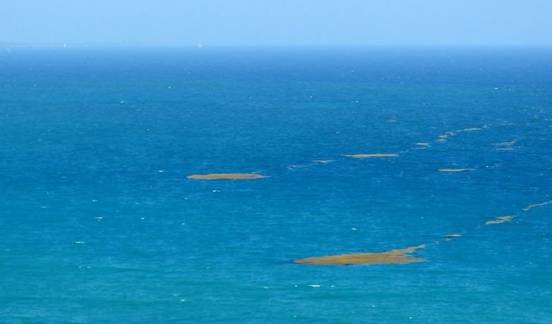 Algues sargasses au large du Diamant. Photo : Madikera.