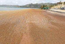 Photo de Les algues sargasses sont de retour en Martinique notamment au Robert (VIDÉO)