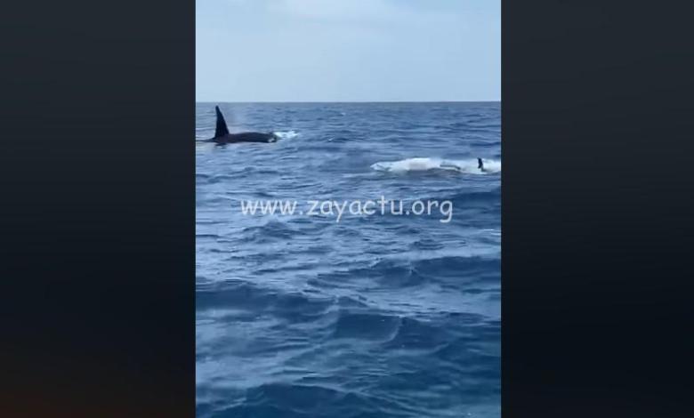 Des orques aperçues au large du Prêcheur. Capture d'écran.