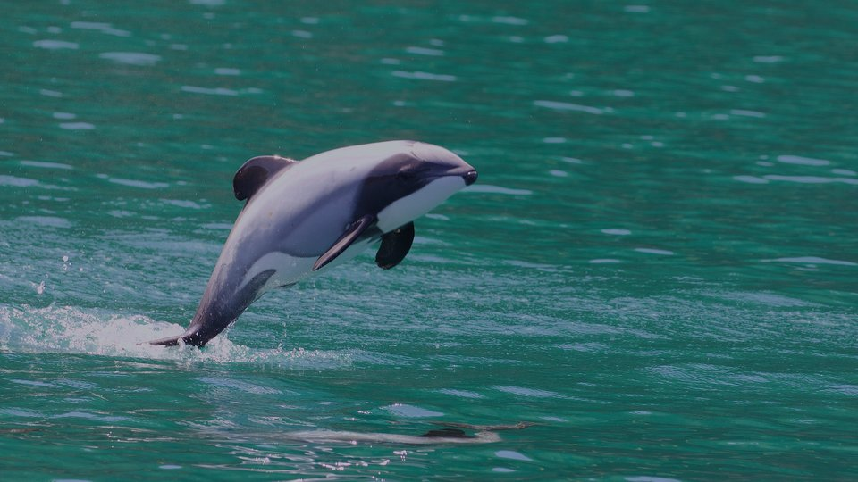 """By Gregory """"Slobirdr"""" Smith - Hector's Dolphin (Cephalorhynchus hectori), CC BY 2.0, https://commons.wikimedia.org/w/index.php?curid=92761139"""