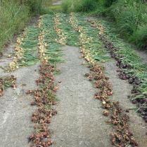 Rode en witte uien en sjalotjes liggen te drogen in de zon.