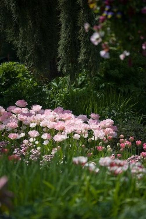 Bed of pink double tulips 'Angelique'.