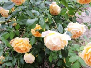 Rose gelb, Zeltnerhof Urlaub auf dem Bauernhof