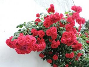 Rosen rot, Zeltnerhof Ferienwohnung