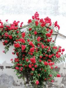 Rosen viele, Zeltnerhof