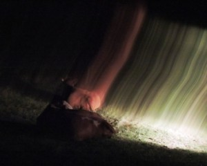 Trächtige Kuh, Zeltnerhof, Lichtspiegelung