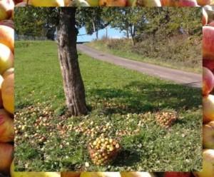Apfel Ernte, Zeltnerhof, Ferien auf dem Bauernhof, Herbst