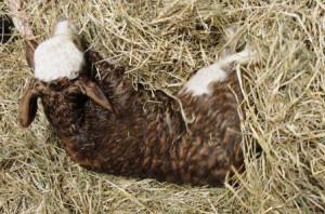 Urlaub auf dem Bauernhof, neu geboren Kälbchen