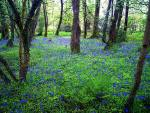 Bluebells at Jampa Ling. May 2015.